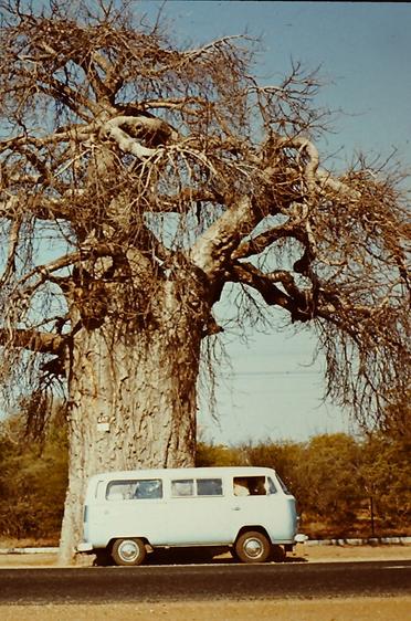 Südafrika (Anfang 1980),  zu sehen ist ein für Afrika typischer Affenbrotbaum