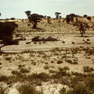 Kalahari mit Straußenherde auf einem trockenem Flussbett (Ende der 1980)