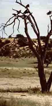 Abgestorbener Baum mit Aasvögeln in der Kalahari