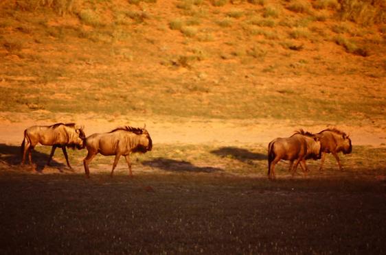 Gnus in der Halbwüste Kalahari
