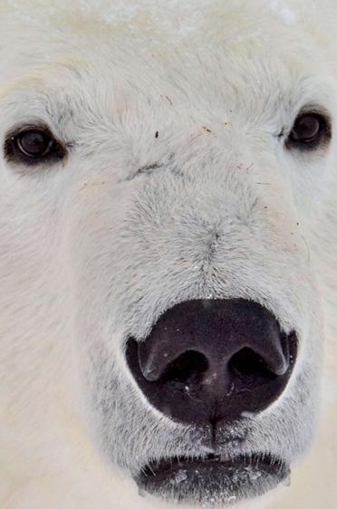 Eisbären-Portrait
