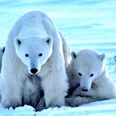 Eisbärin mit zwei Jungen