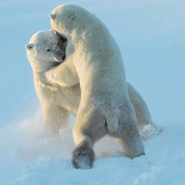 Raufende Eisbären