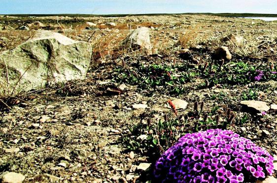 Tundra mit Purpursteinbrecher